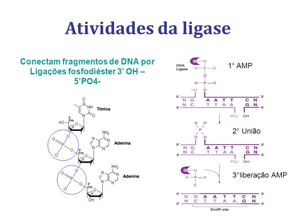 Conectam fragmentos de DNA por Ligações fosfodiéster 3' OH – 5'PO4-