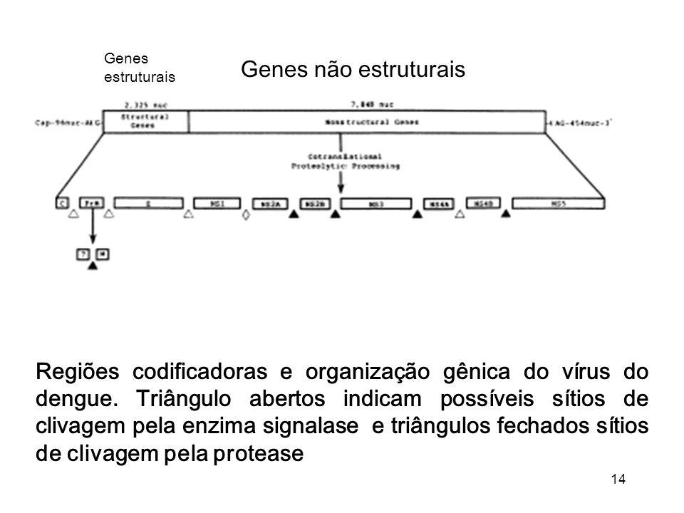 Genes estruturais Genes não estruturais.