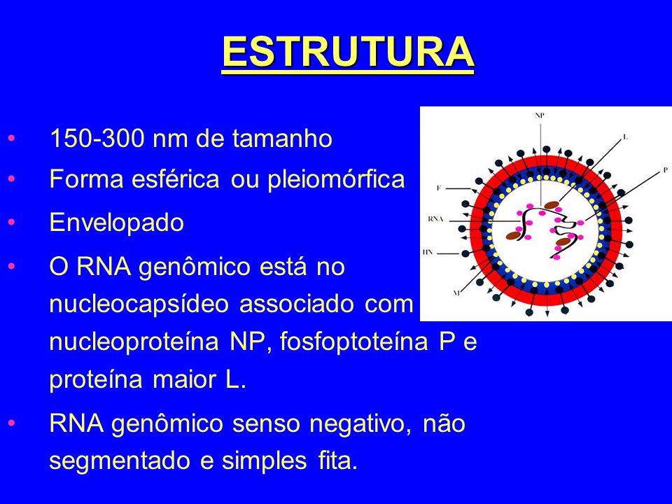 ESTRUTURA 150-300 nm de tamanho Forma esférica ou pleiomórfica