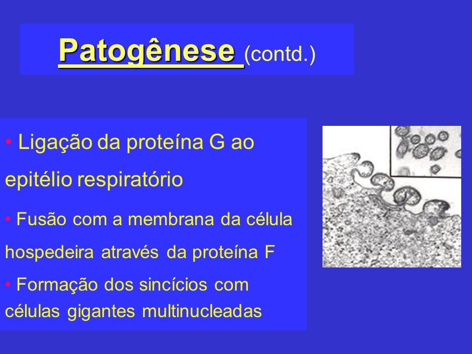 Patogênese (contd.) Ligação da proteína G ao epitélio respiratório
