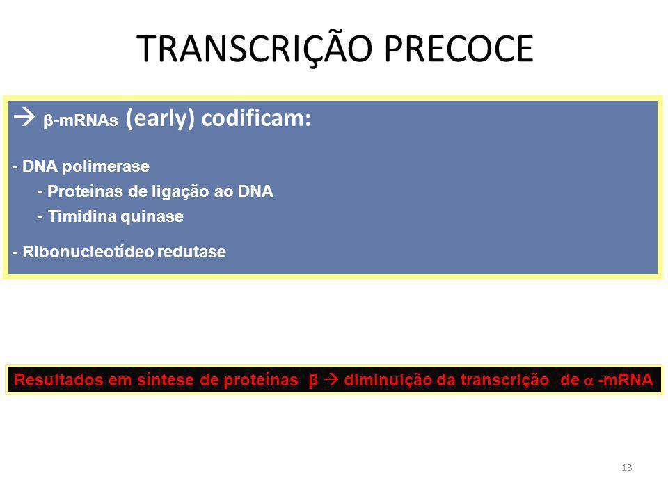 TRANSCRIÇÃO PRECOCE  β-mRNAs (early) codificam: