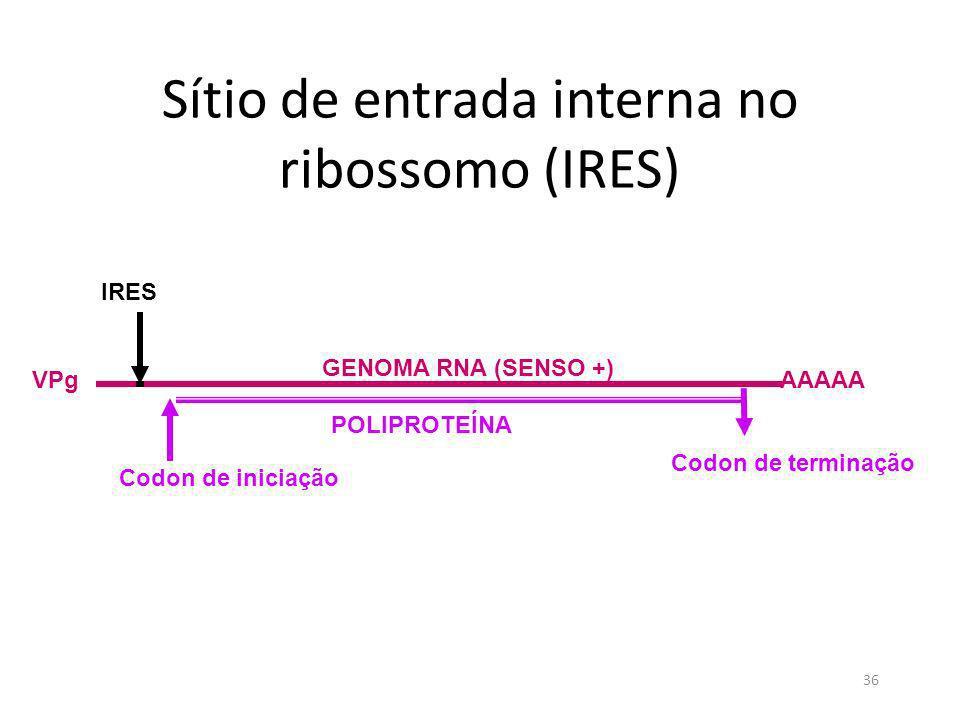Sítio de entrada interna no ribossomo (IRES)