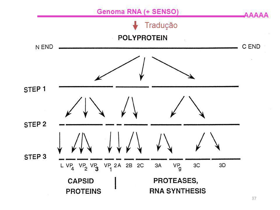 Genoma RNA (+ SENSO) AAAAA Tradução