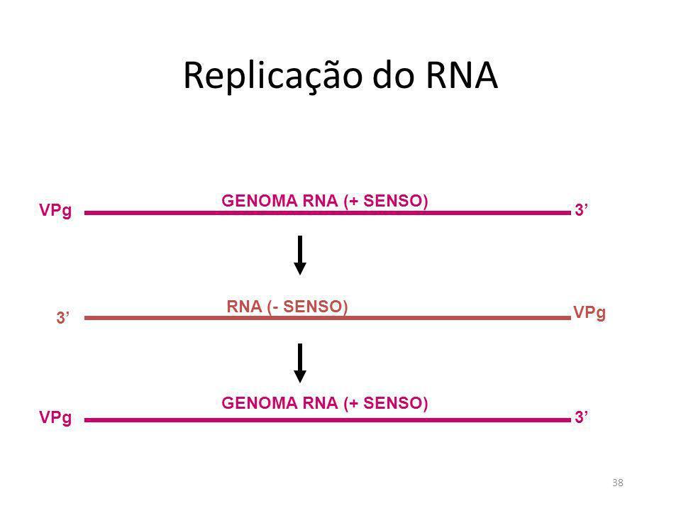 Replicação do RNA GENOMA RNA (+ SENSO) VPg 3' RNA (- SENSO) VPg 3'