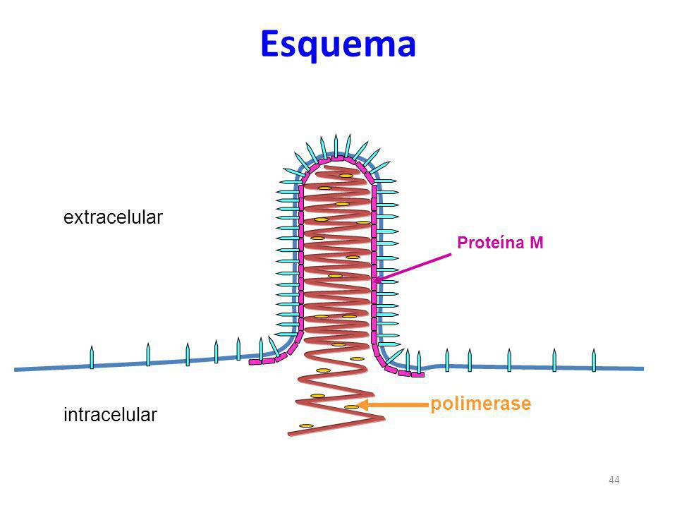 Esquema extracelular Proteína M polimerase intracelular