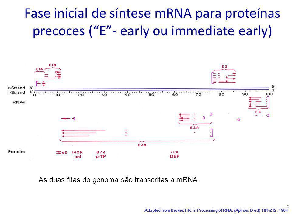 Fase inicial de síntese mRNA para proteínas precoces ( E - early ou immediate early)
