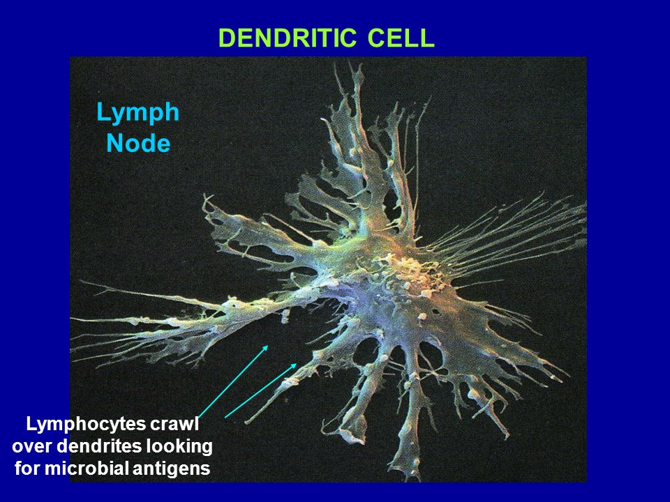 Lymphocytes crawl over dendrites looking for microbial antigens