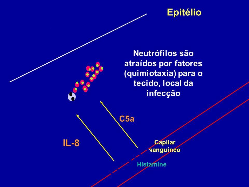 Epitélio Neutrófilos são atraídos por fatores (quimiotaxia) para o tecido, local da infecção. C5a.