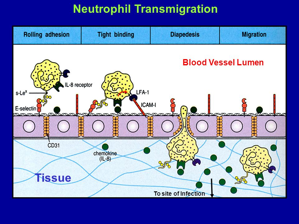 Neutrophil Transmigration