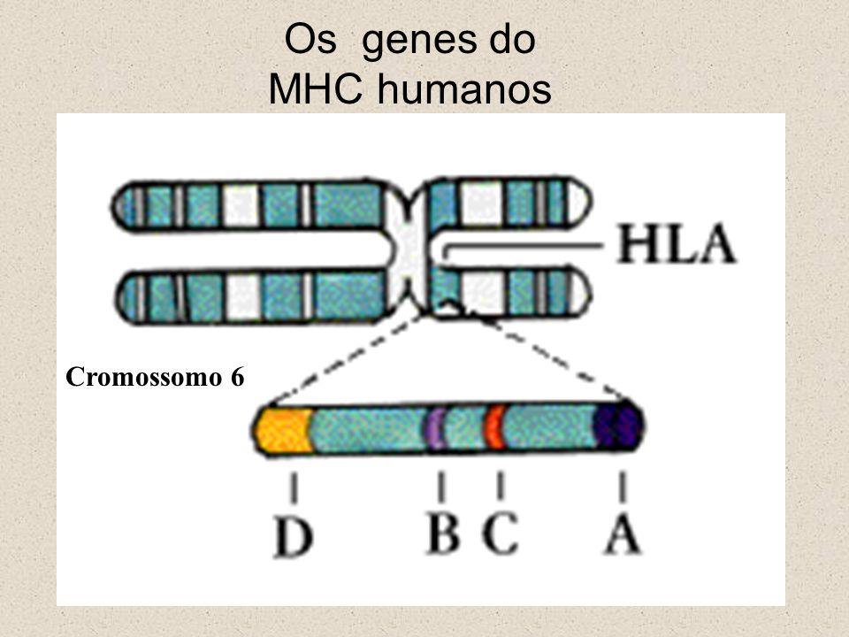 Os genes do MHC humanos Cromossomo 6