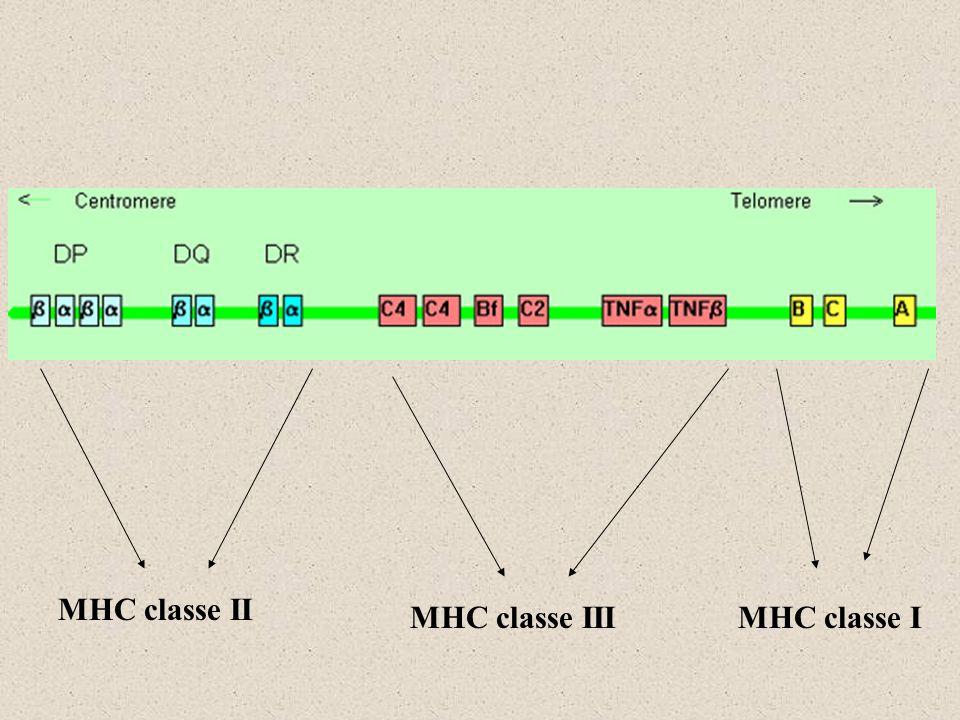 MHC classe II MHC classe III MHC classe I