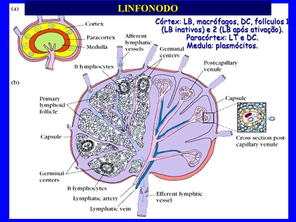LINFONODO Córtex: LB, macrófagos, DC, folículos 1 (LB inativos) e 2 (LB após ativação). Paracórtex: LT e DC.