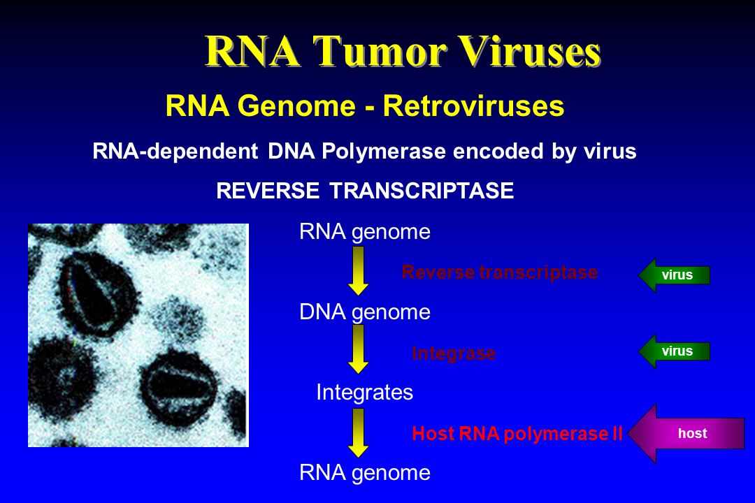 RNA Tumor Viruses RNA Genome - Retroviruses