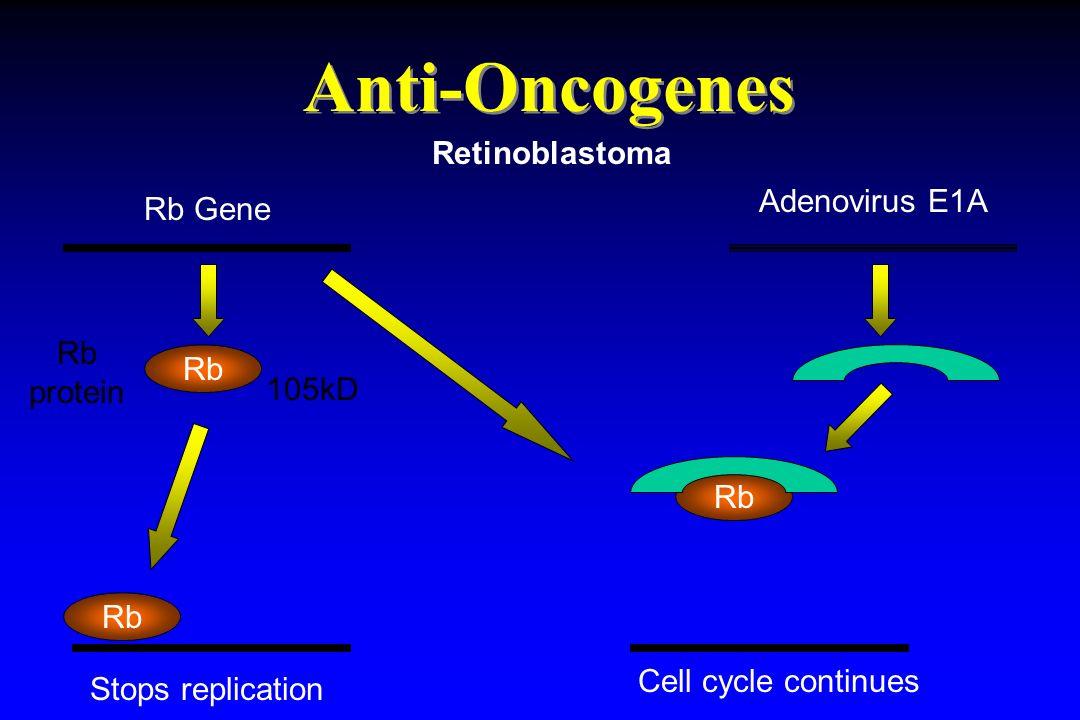 Anti-Oncogenes Retinoblastoma Adenovirus E1A Rb Gene Rb protein Rb