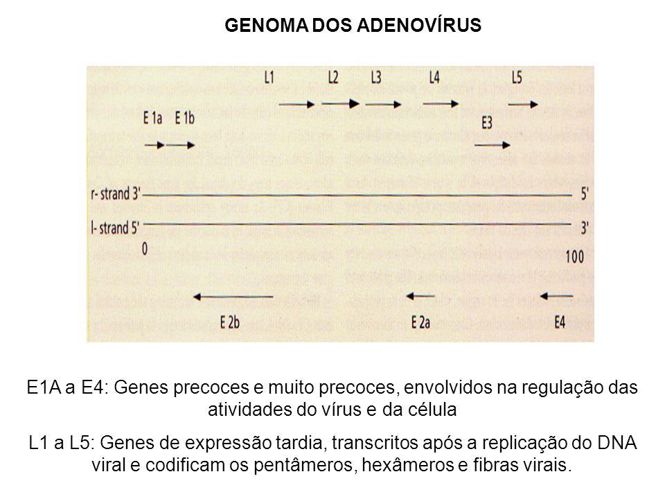 GENOMA DOS ADENOVÍRUS E1A a E4: Genes precoces e muito precoces, envolvidos na regulação das atividades do vírus e da célula.
