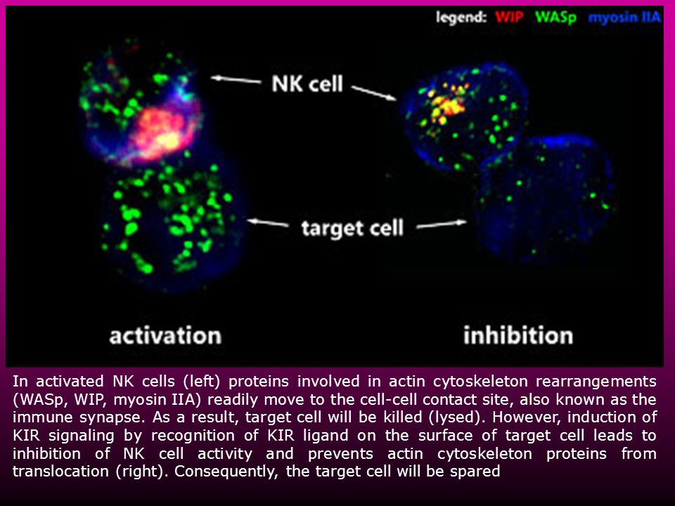 In activated NK cells (left) proteins involved in actin cytoskeleton rearrangements (WASp, WIP, myosin IIA) readily move to the cell-cell contact site, also known as the immune synapse.