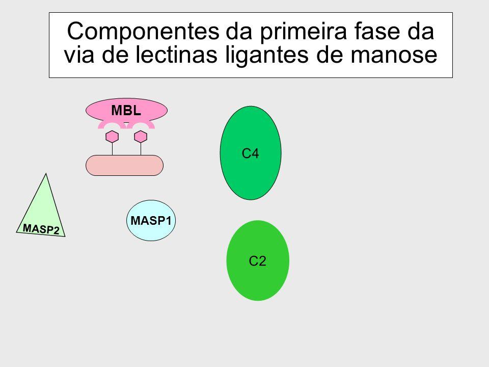 Componentes da primeira fase da via de lectinas ligantes de manose