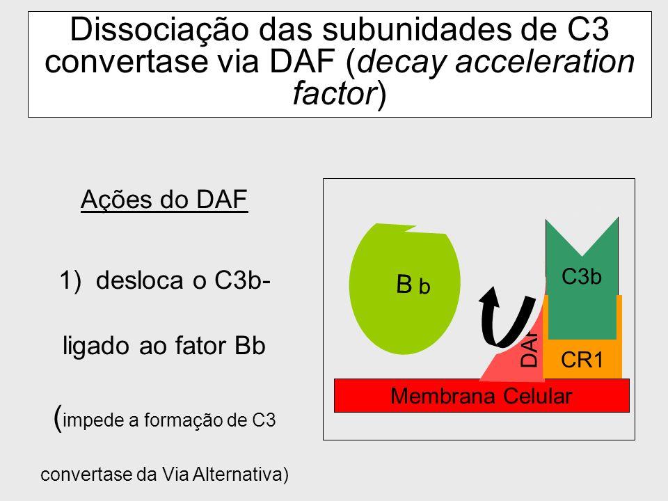 Dissociação das subunidades de C3 convertase via DAF (decay acceleration factor)