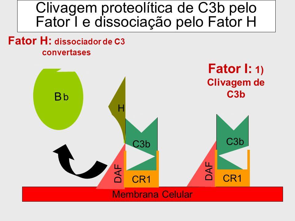 Clivagem proteolítica de C3b pelo Fator I e dissociação pelo Fator H