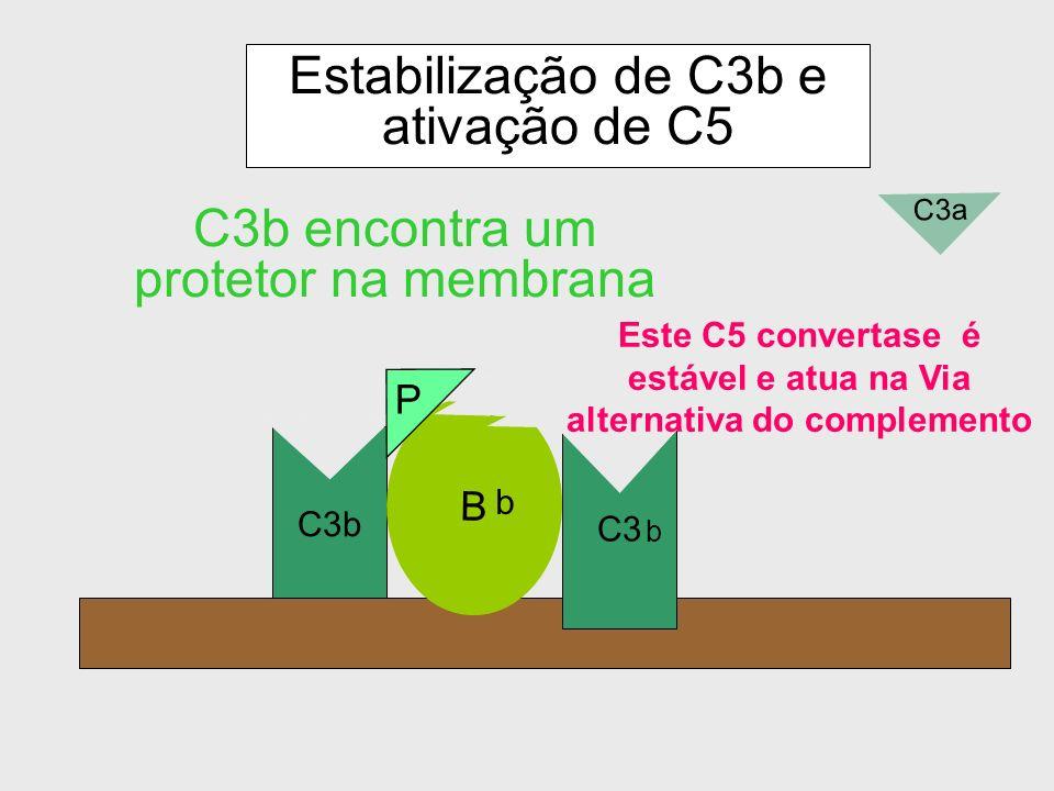 Estabilização de C3b e ativação de C5