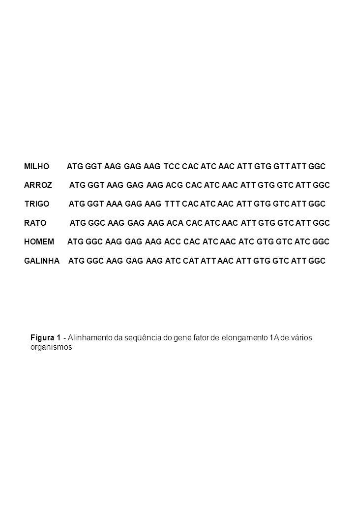 MILHO ATG GGT AAG GAG AAG TCC CAC ATC AAC ATT GTG GTT ATT GGC