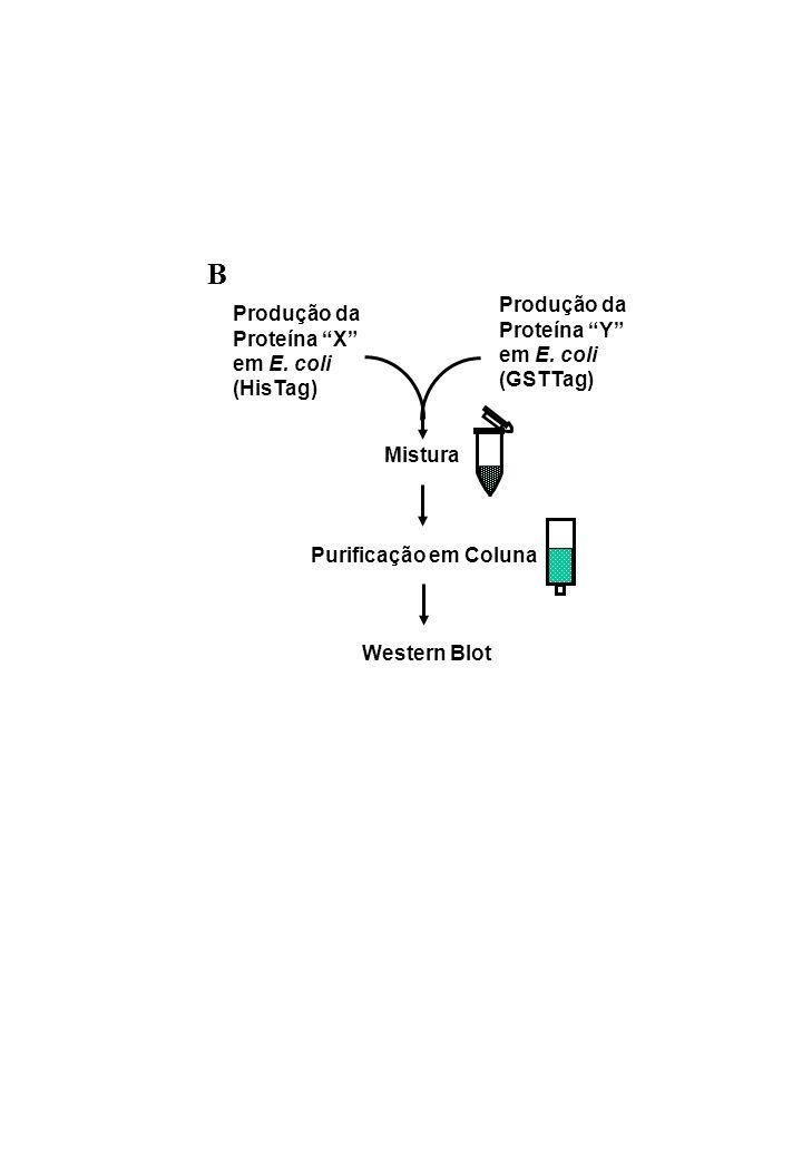 B Produção da Produção da Proteína Y Proteína X em E. coli