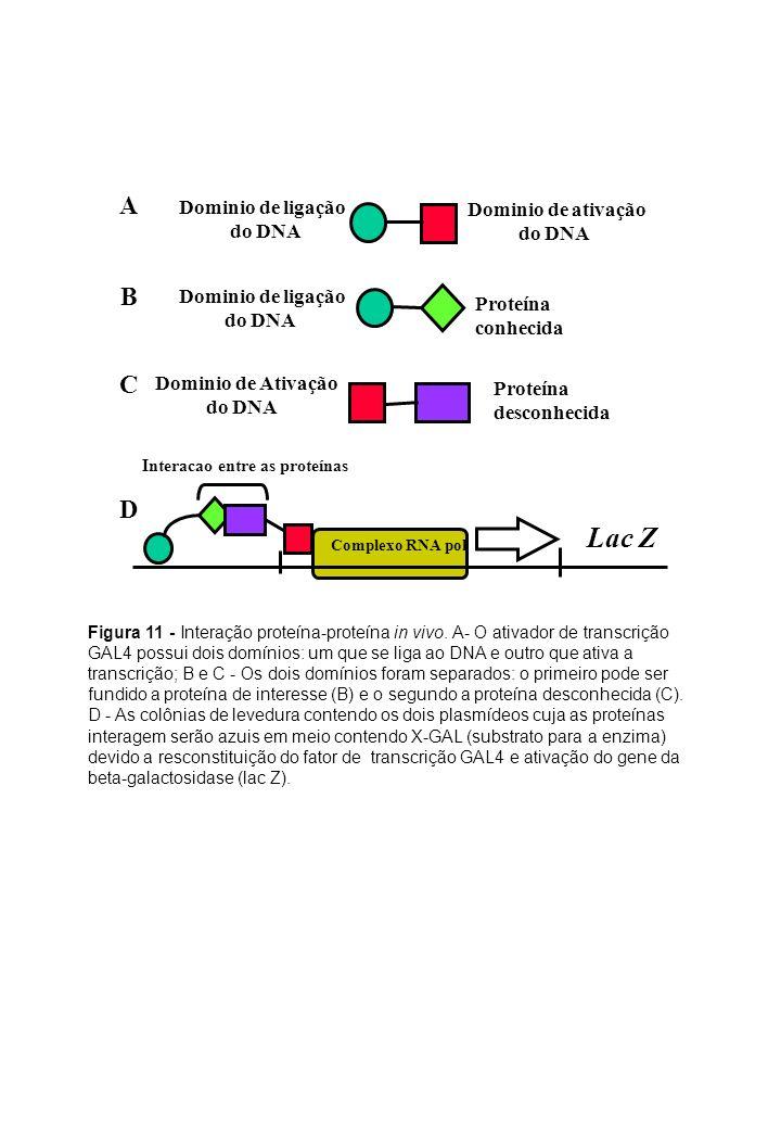 Lac Z A B C D Dominio de ligação Dominio de ativação do DNA do DNA