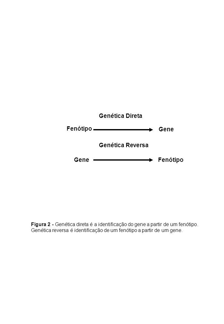 Genética Direta Fenótipo Gene Genética Reversa Gene Fenótipo