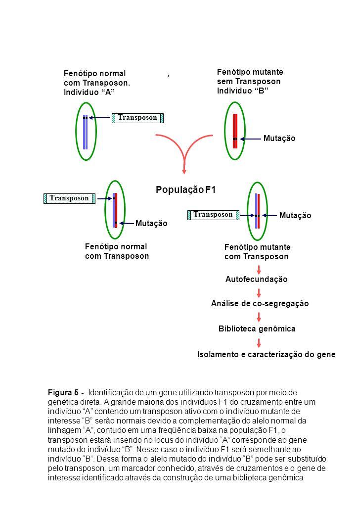 População F1 Fenótipo normal Fenótipo mutante com Transposon.