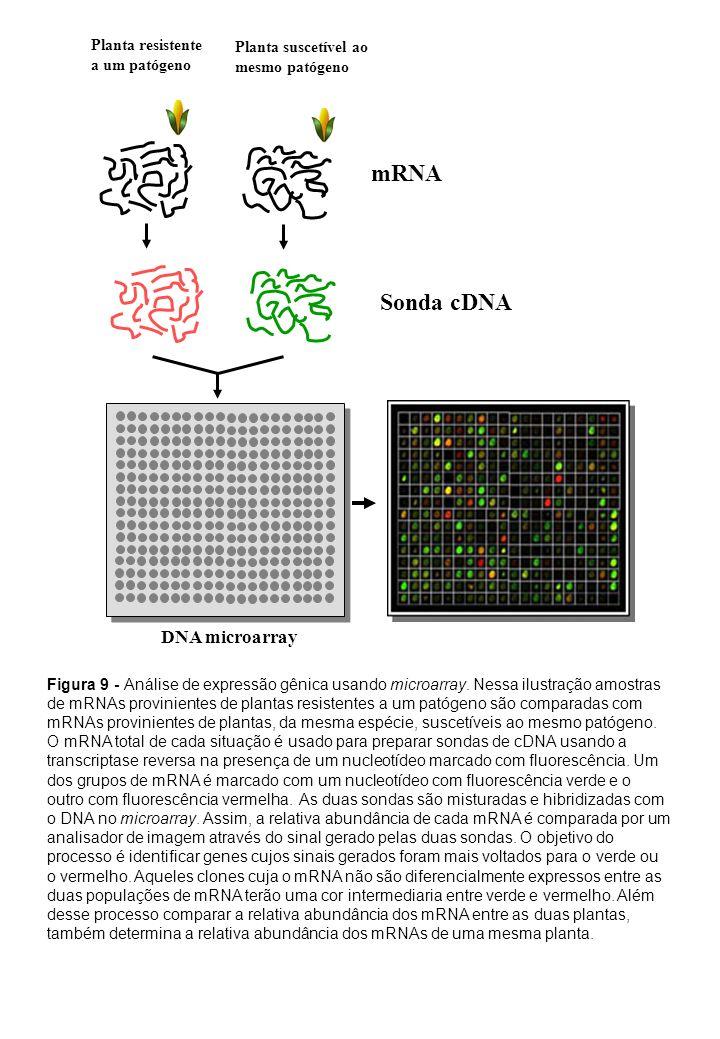 mRNA Sonda cDNA DNA microarray Planta resistente a um patógeno