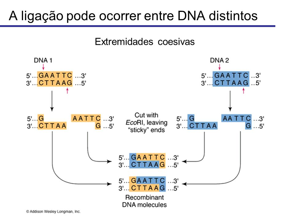 A ligação pode ocorrer entre DNA distintos