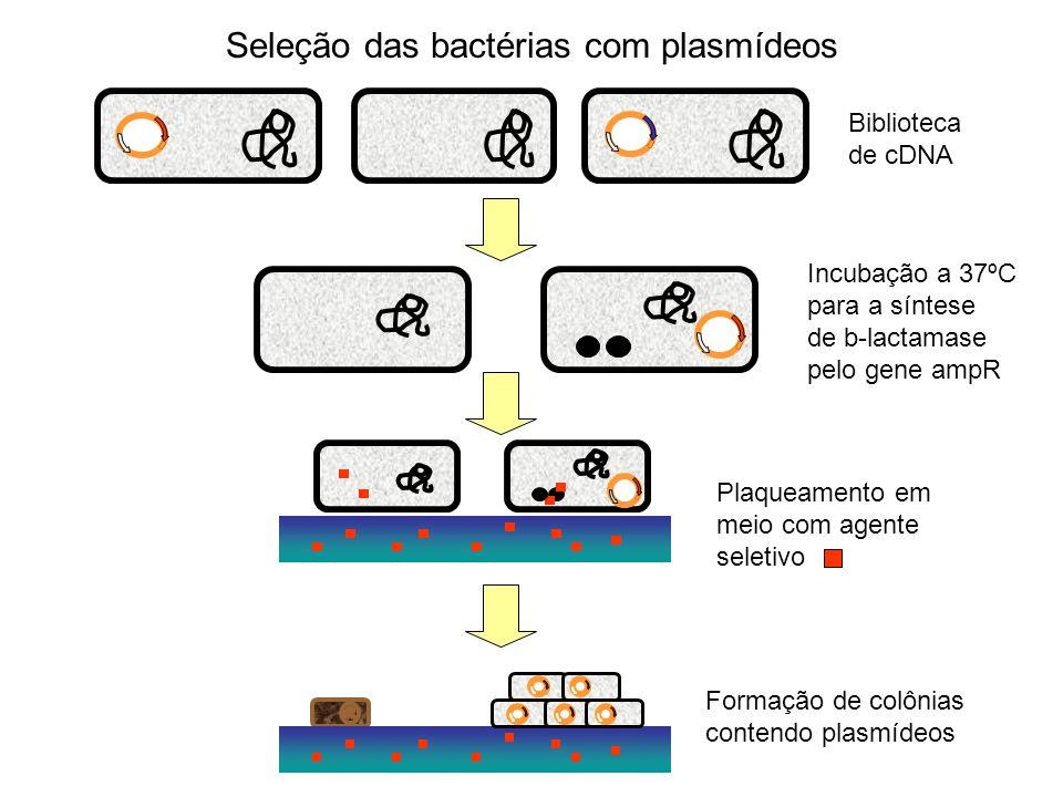Seleção das bactérias com plasmídeos