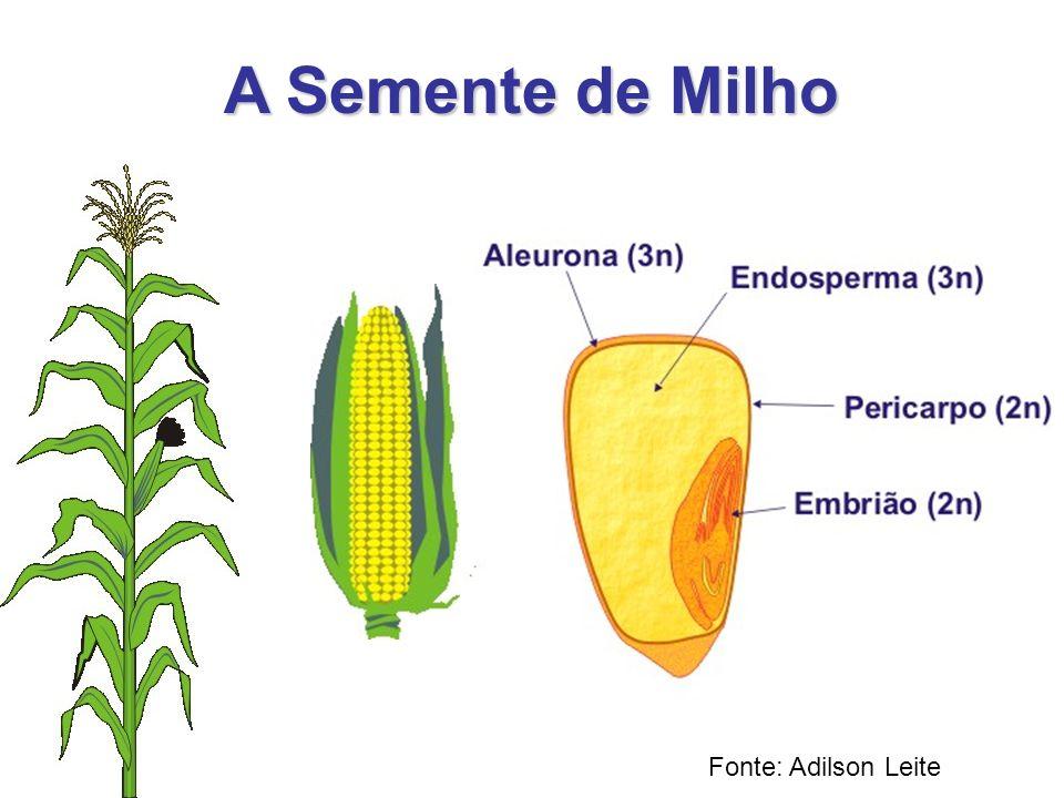 A Semente de Milho Fonte: Adilson Leite