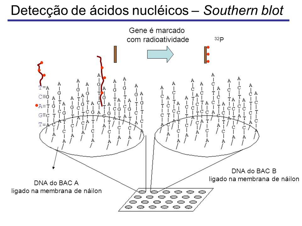 Detecção de ácidos nucléicos – Southern blot