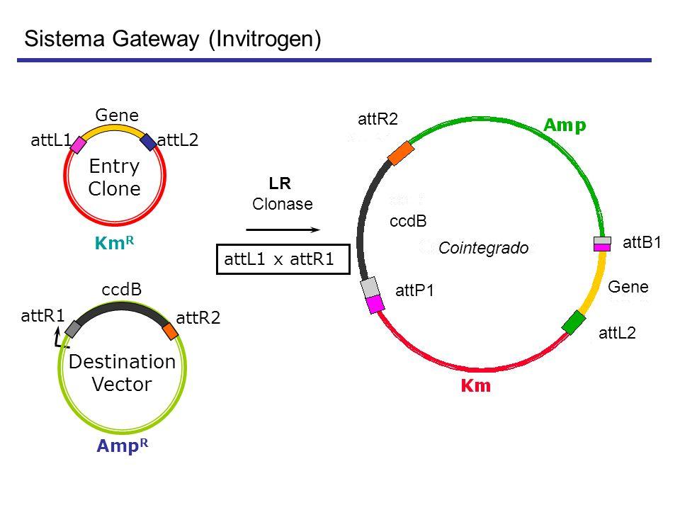 Sistema Gateway (Invitrogen)