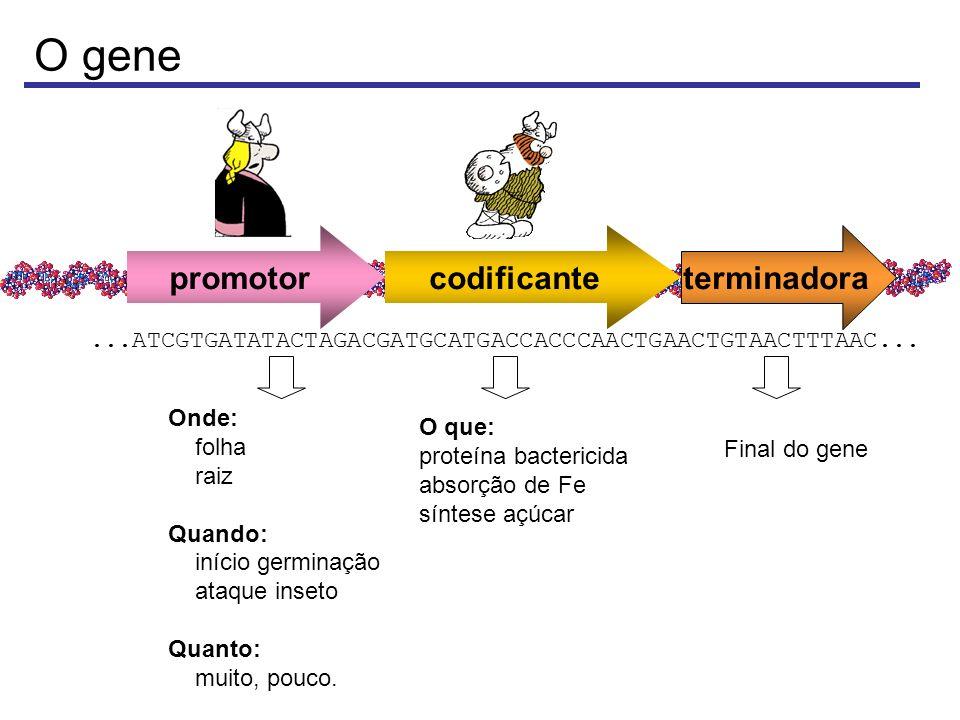 O gene promotor codificante terminadora