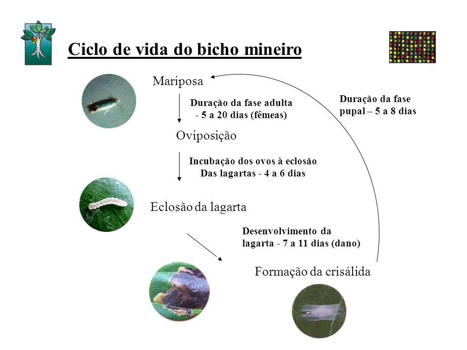 Ciclo de vida do bicho mineiro