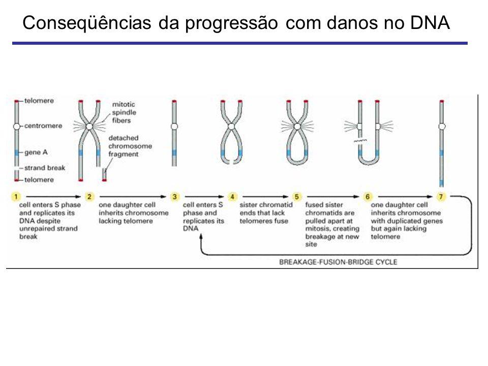 Conseqüências da progressão com danos no DNA