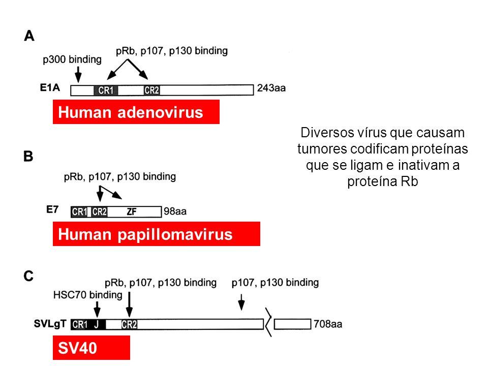 Human adenovirus Human papillomavirus SV40