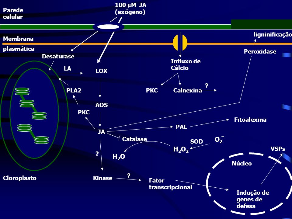 O2 H2O2 H2O 100 M JA (exógeno) Parede celular ligninificação Membrana