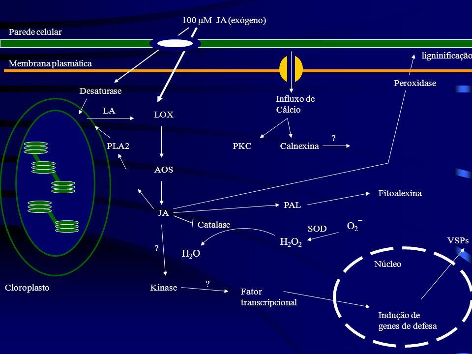 O2 H2O2 H2O 100 M JA (exógeno) Parede celular ligninificação