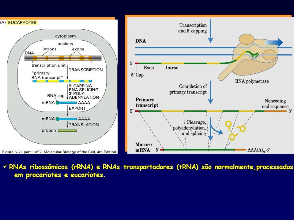 RNAs ribossômicos (rRNA) e RNAs transportadores (tRNA) são normalmente,processados