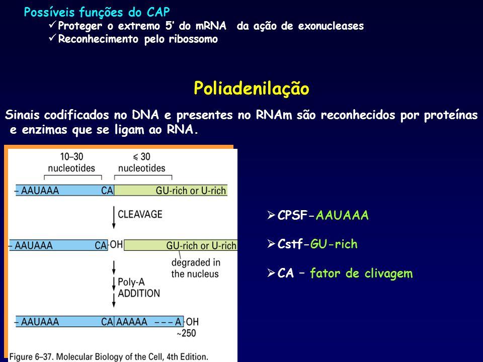 Poliadenilação Possíveis funções do CAP