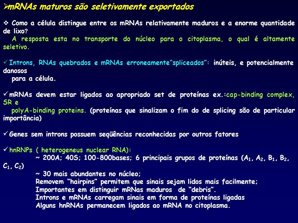 mRNAs maturos são seletivamente exportados