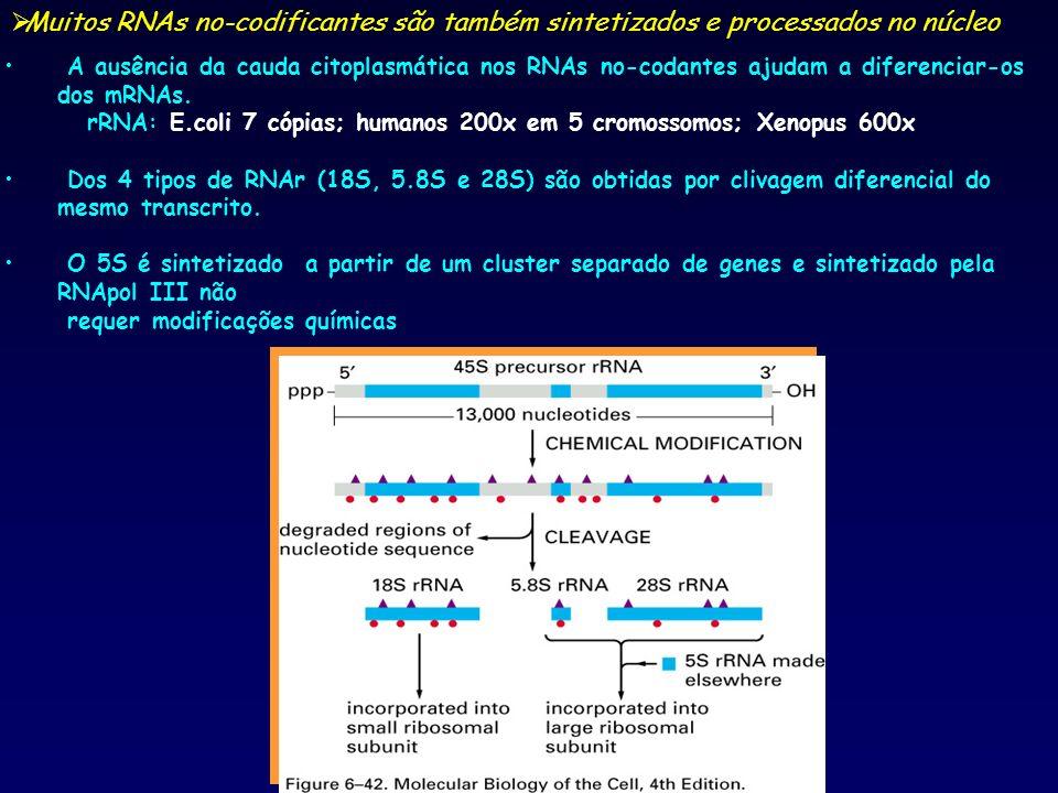 Muitos RNAs no-codificantes são também sintetizados e processados no núcleo
