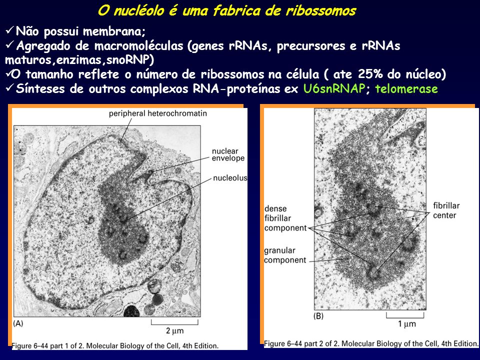 O nucléolo é uma fabrica de ribossomos