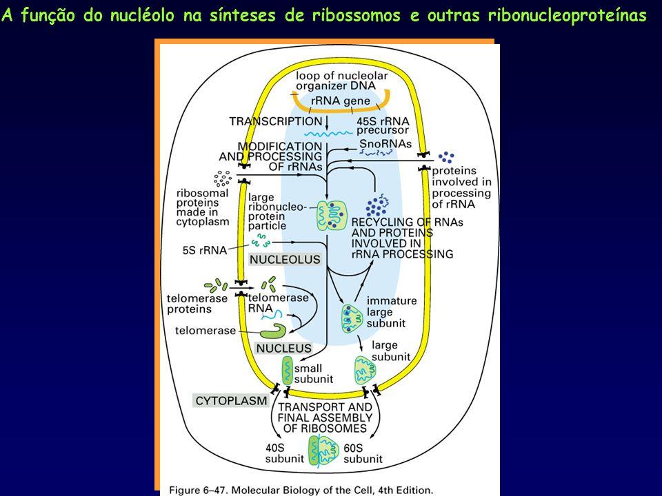 A função do nucléolo na sínteses de ribossomos e outras ribonucleoproteínas