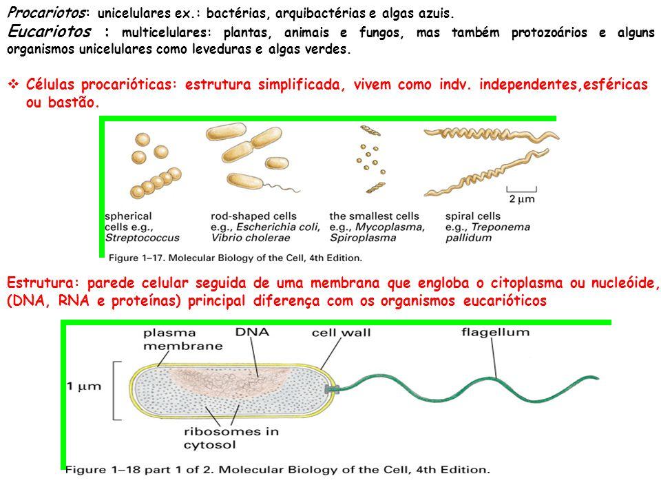 Procariotos: unicelulares ex.: bactérias, arquibactérias e algas azuis.