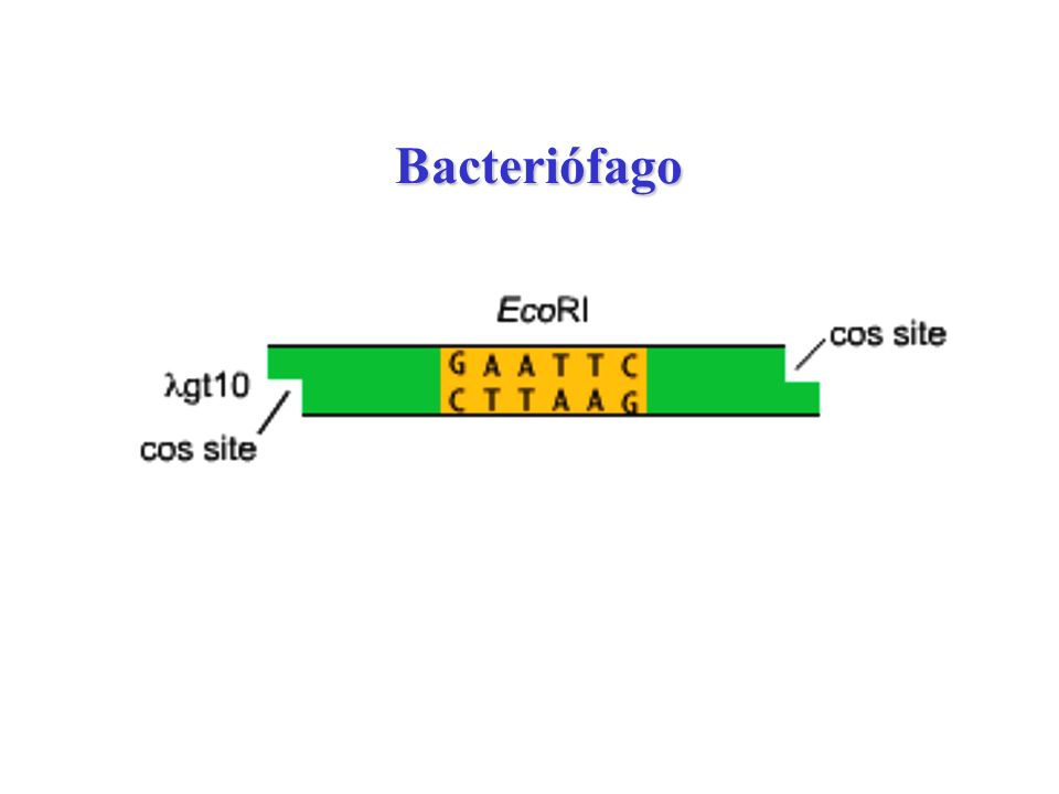 Bacteriófago