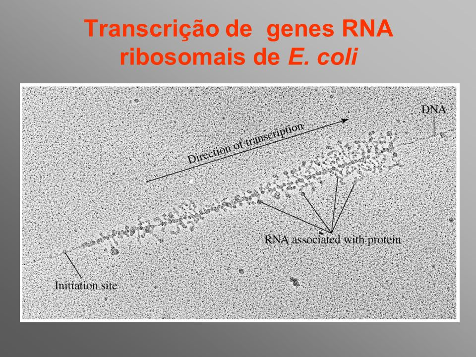 Transcrição de genes RNA ribosomais de E. coli